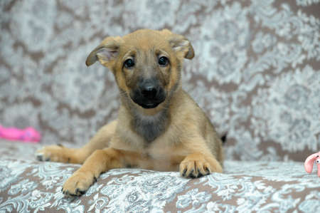light brown cute purebred puppy photo