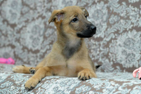 light brown cute purebred puppy photo