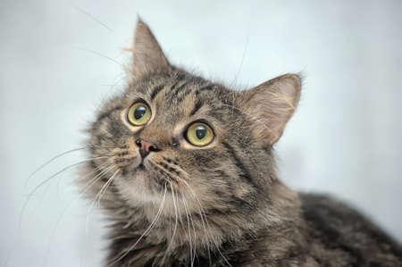 Siberian cat Stock Photo - 17909767