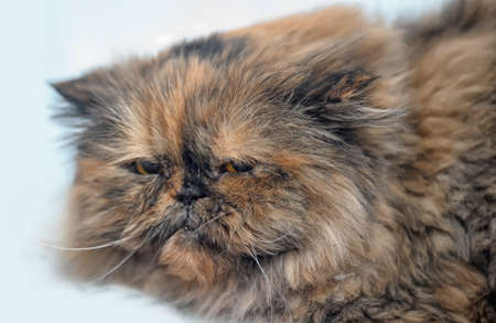 angry Persian cat photo