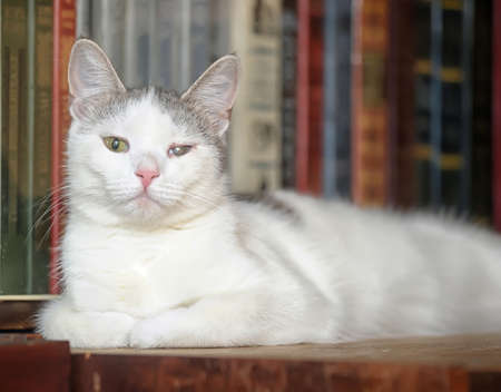white and gray cat on a bookshelf