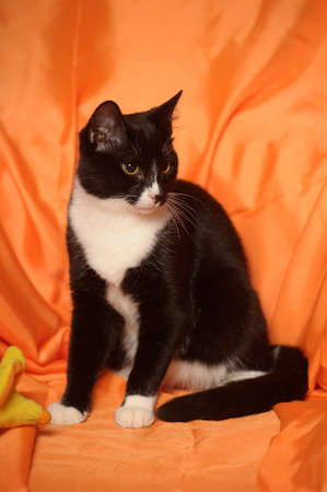 black and white cat on an orange background photo
