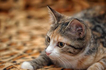 trichromatic: three-color striped kitten