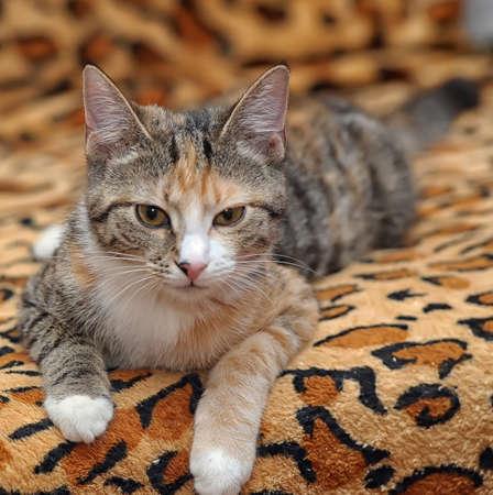 tricoloured: three-color striped kitten