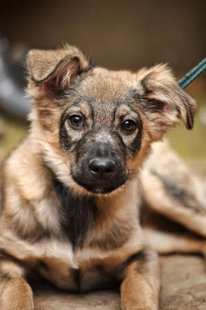 pathetic: cute brown mongrel puppy Stock Photo