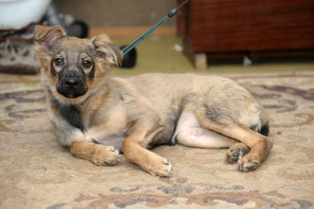 poignant: cute brown mongrel puppy Stock Photo