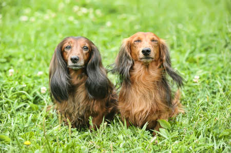two Dachshund longhair Stock Photo - 17927430
