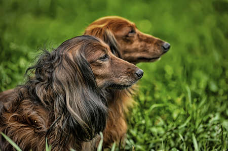 pursue: two Dachshund longhair