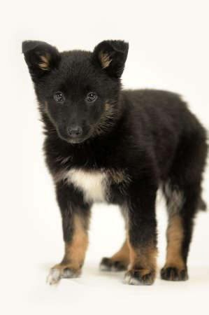 Half-breed German Shepherd puppy  photo