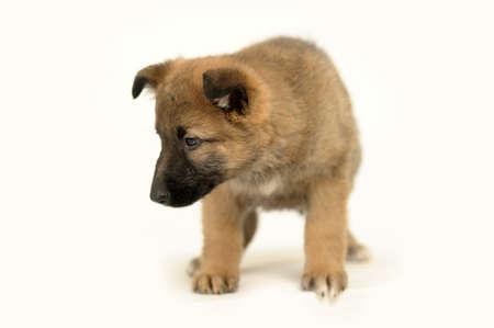 wagging: Half-breed German Shepherd puppy