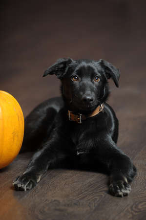 black puppy and a pumpkin photo