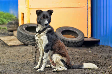 dog on a chain Stock Photo - 17928045