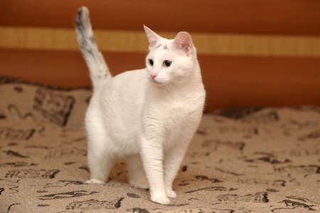 hunter playful: white Cat
