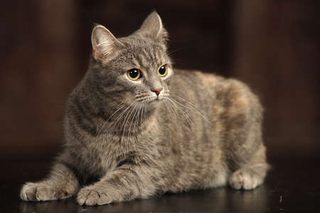 gray striped short-haired cat photo
