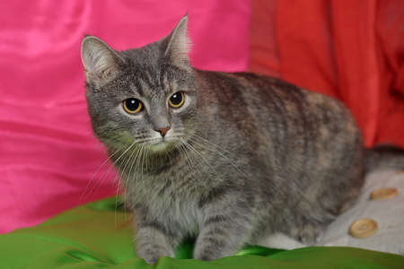 gray striped short-haired cat