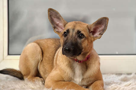 eared: eared cute puppy
