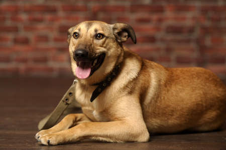 nouse: light brown dog