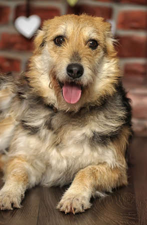 beagle mix: Half-breed terrier dog