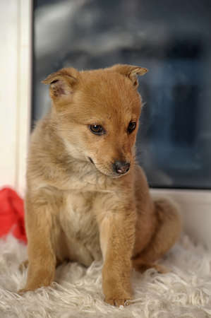 poignant: small brown mongrel puppy