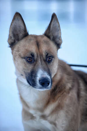 huskys: Dog in Snow Stock Photo