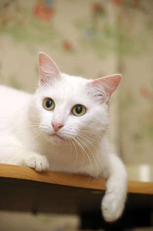 whiskar: beautiful white cat