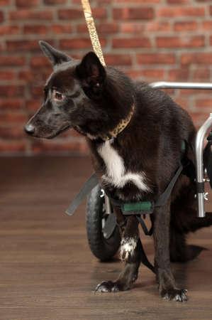 dysplasia: disabled dog Stock Photo