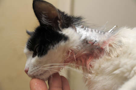 banian: Cat after operation on a neck