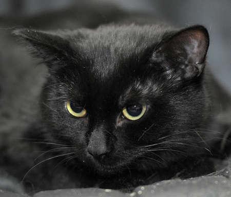 black cat pet photo