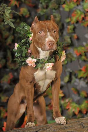 kampfhund: Pit Bull mit Blumen