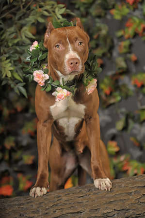 Pit Bull with flowers photo