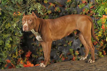 american staffordshire terrier: Pit Bull Portrait