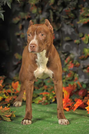 Pit Bull Portrait photo