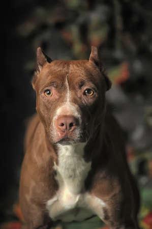 Pit Bull Portrait photo