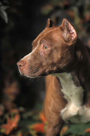 Portret Pit Bull photo