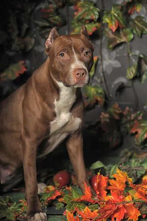 kampfhund: Pit Bull Portrait