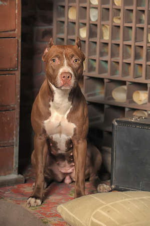 Pit Bull Terrier photo