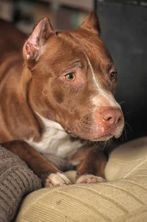 gardian: Pit Bull Terrier Stock Photo