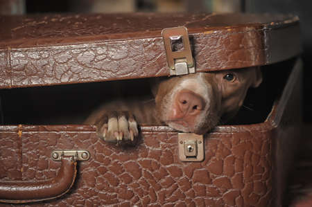 householder: Dog in suitcase Stock Photo