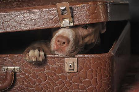 Perro en la maleta Foto de archivo