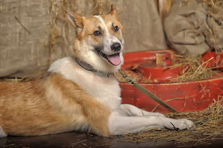 red heeler: white with red dog