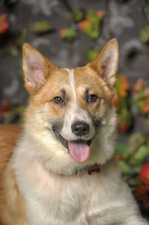 red heeler: white and red dog