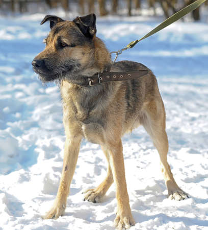 half-breed mongrel dog winter Stock Photo - 18808035