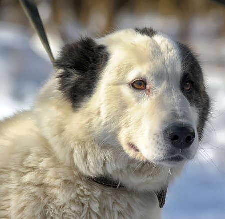 Alabai puppy Stock Photo - 18806848