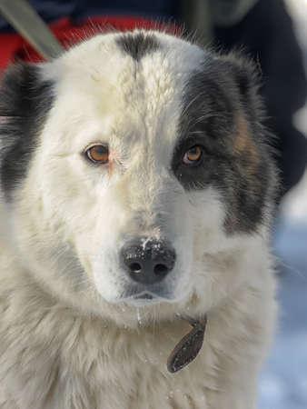 alabai: Alabai puppy