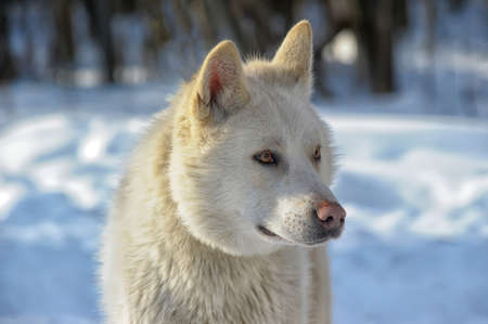 white husky Stock Photo - 18806894