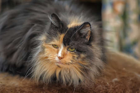 red with black fluffy cat Stock Photo - 18853998