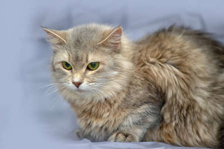 gray fluffy cat photo