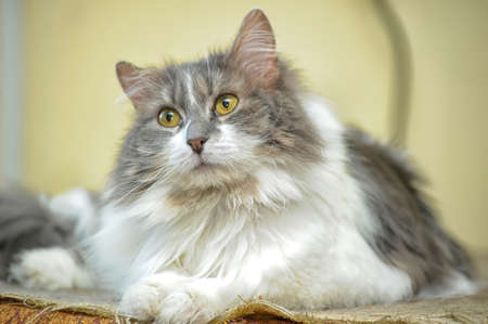 gray and white fluffy cat Stock Photo - 18852220
