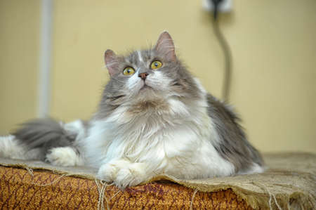 gray and white fluffy cat photo