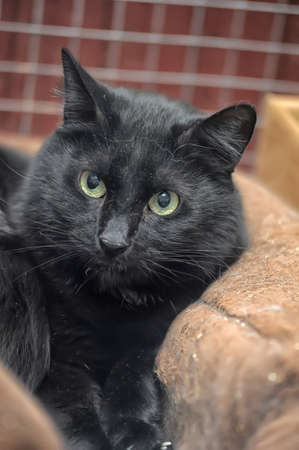 black cat with green eyes resting photo